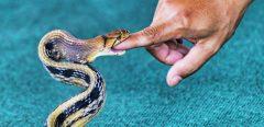 Que faut-il faire en cas de morsure de serpent ?