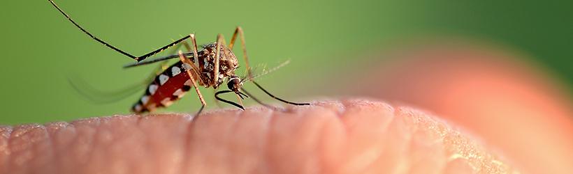 Piqûre de moustique sur le doigt qui transmet le chikungunya