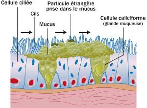 dyskinesie-ciliaire-voie-respiratoire-sinus
