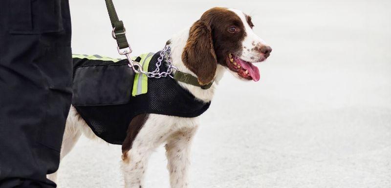 COVID-19 et déconfinement : et si des chiens vous flairaient ?