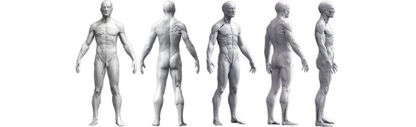 Plusieurs angles de vues qui démontrent le corps humain (anatomie musculaire)