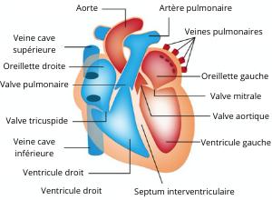 echocardiographie-radio-coeur-rappel