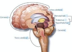 Rappel anatomique du cerveau par rapport à la maladie de Joubert
