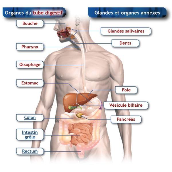 Schéma informant sur anatomie du haut du corps.