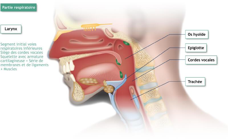 Il·lustració de mudances anatòmiques de la part respiratori: laringe