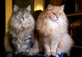 Chats hypoallergéniques : des chats sibériens