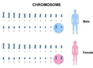 Diagnostic du chromosome 22 en anneau chez les hommes et chez les femmes