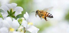 Le venin d'abeille contre le cancer du sein
