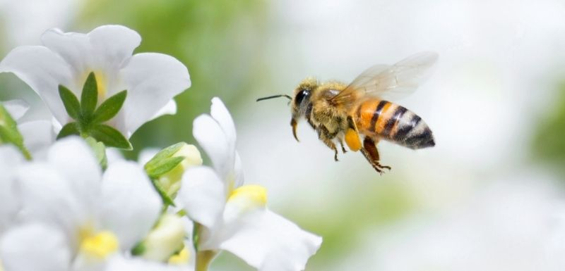 Le venin d'abeille contre le cancer du sein