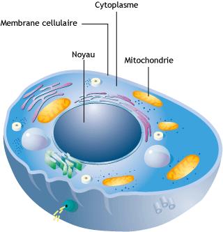 schema-cellule-mitochondrie
