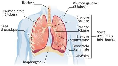 schéma des poumons