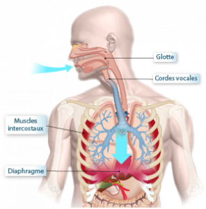 illustration des voies respiratoires