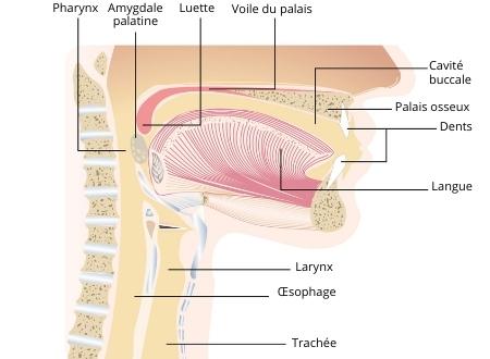 schéma de la cavité buccale et du pharynx pour montrer une Pharyngite