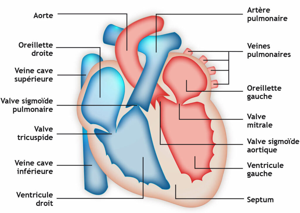 Anatomie du coeur pour montrer une extrasystole