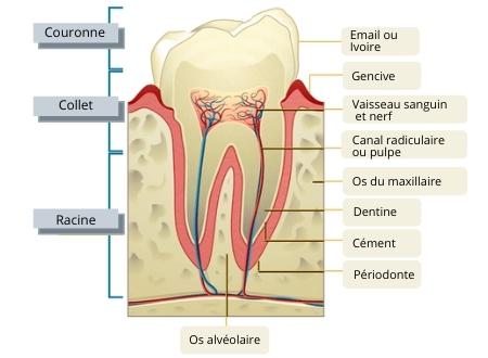 schéma pour décrire une rage de dents