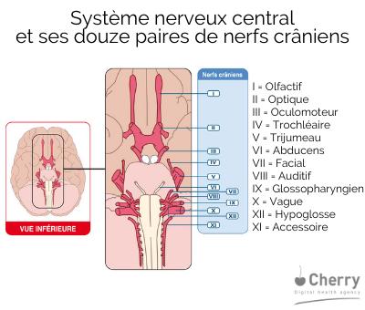 système nerveux central et ses douze paires de nerfs crâniens