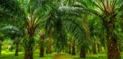Effets de l'huile de palme sur la santé : quels dangers ?