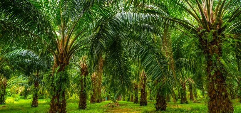 Effets de l'huile de palme sur la santé : aussi nocive sur la santé que sur l'environnement ?